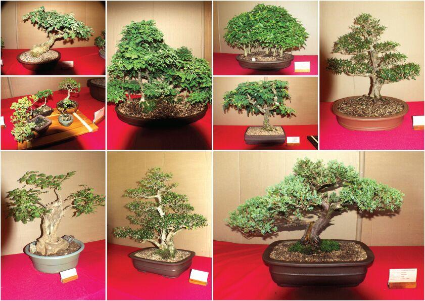bonsais-for-sale-bonsai-show-durban-2