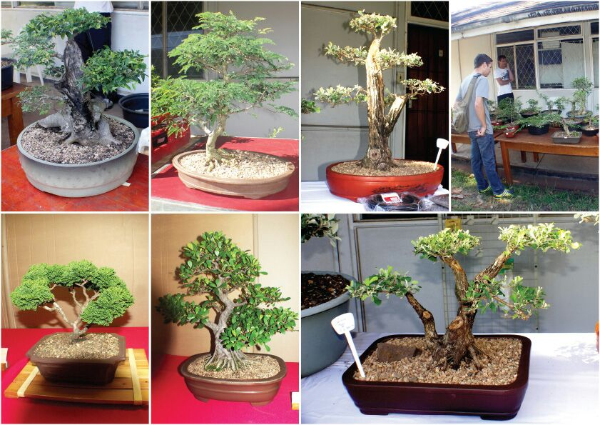 bonsais-for-sale-bonsai-show-durban-3