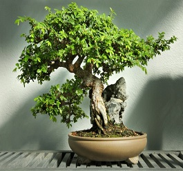 chinese-elm-bonsai-tree