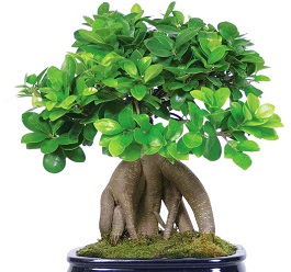 ficus-bonsai-tree