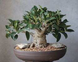 ficus bonsai tree south africa