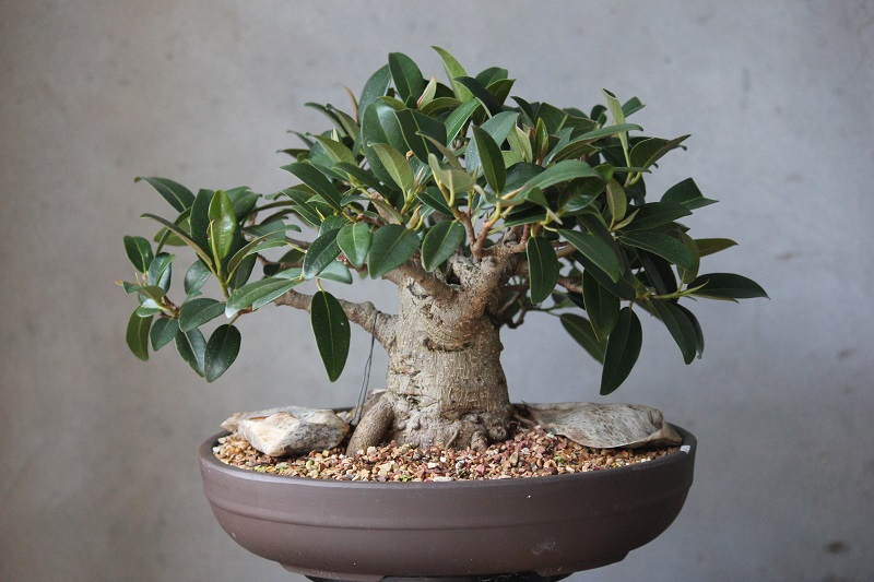 ficus bonsai trees care and maintenance guide. Black Bedroom Furniture Sets. Home Design Ideas