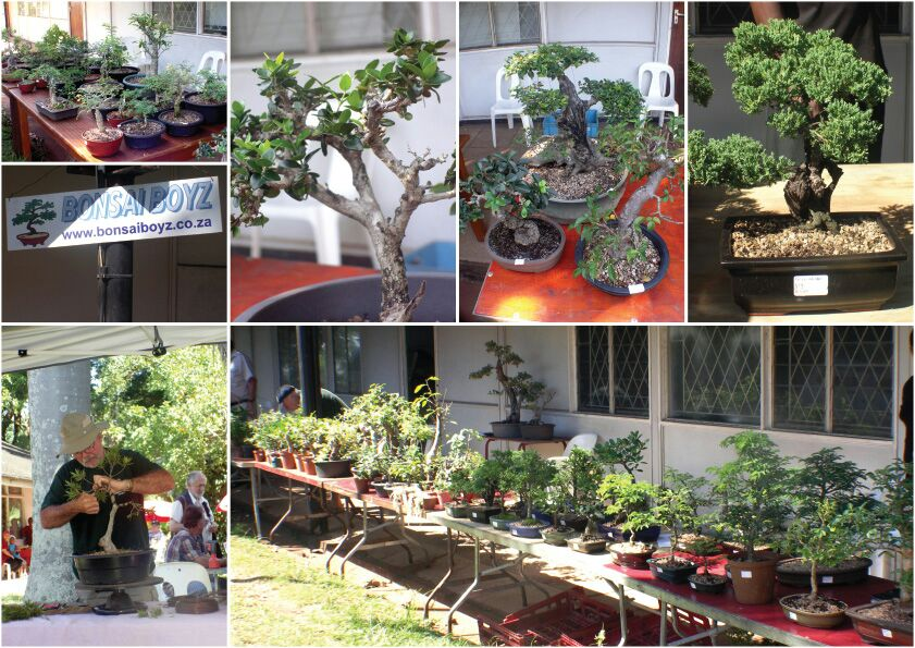bonsais-for-sale-bonsai-show-durban-1