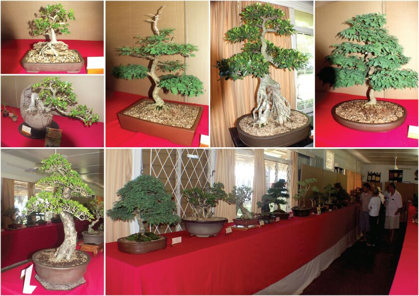 bonsais-for-sale-bonsai-show-durban-4