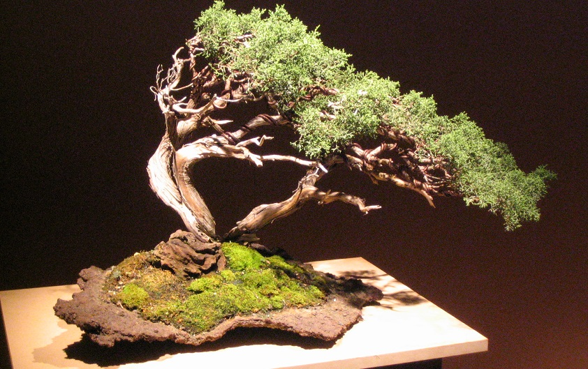 the windswept bonsai