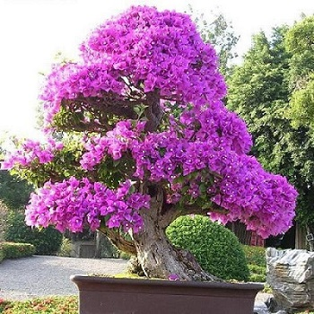 bougainvillea bonsai tree